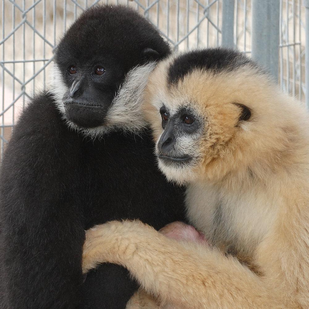 White-cheeked gibbon, Gibbon Conservation Center