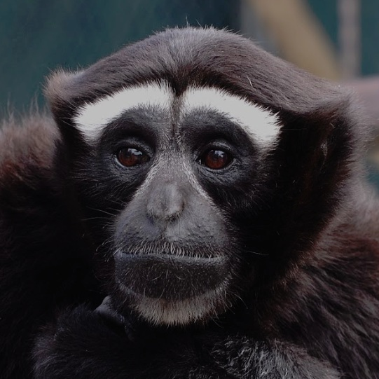 Eastern Hoolock Gibbon -
