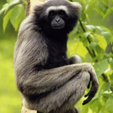 Grey Gibbon -