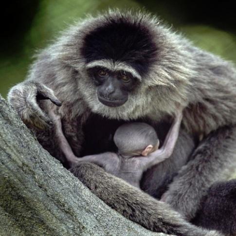 Javan Gibbon -