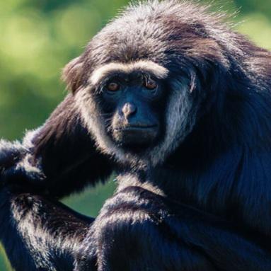 Agile Gibbon -