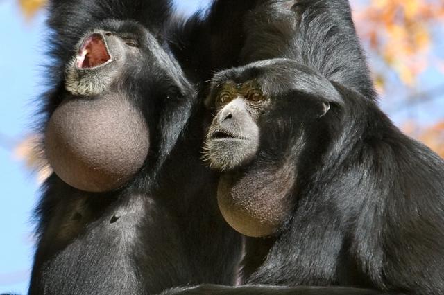 Siamangs calling, Woodland Park Zoo