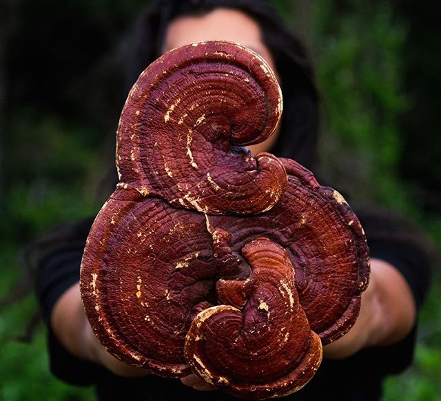 "Reishi Mushroom (Ganoderma lucidum)  aka: Lingzhi, Queen of Mushrooms, Herb of Immortality, Herb of Spiritual Potency  Out of 365 herbs reishi is revered as the #1 herb in the Ancient Chinese Pharmacopeia, and for good reason. Not only does reishi have thousands of years of traditional use but is one of the most studied herbs in western medicine to date. It's unique as a natural remedy because it contains compounds called Beta-Glucans and Polysaccharides that act as ""smart drugs"" for our immune systems. If the immune system is over active (autoimmune) it will bump it down, but if the immune system is underachieve (immunosuppressed) then it will bump it up. Reishi was also revered as a spiritual herb (Shen Herb) and is one of only a few herbs to nourish all three treasures according to Traditional Chinese Medicine.  Keep an eye out for new products that will be incorporating this magical mushroom! 🍄 🌱 🌲  #Reishi #photography #naturephotography #mushrooms ##herbalism #naturalmedicine #naturalremedies #fungi #vegan #veganrecipes #vegancheese #cashewcheese #cashewmilk #vegans #veganfood #organic #paleo #mushroomcoffee"