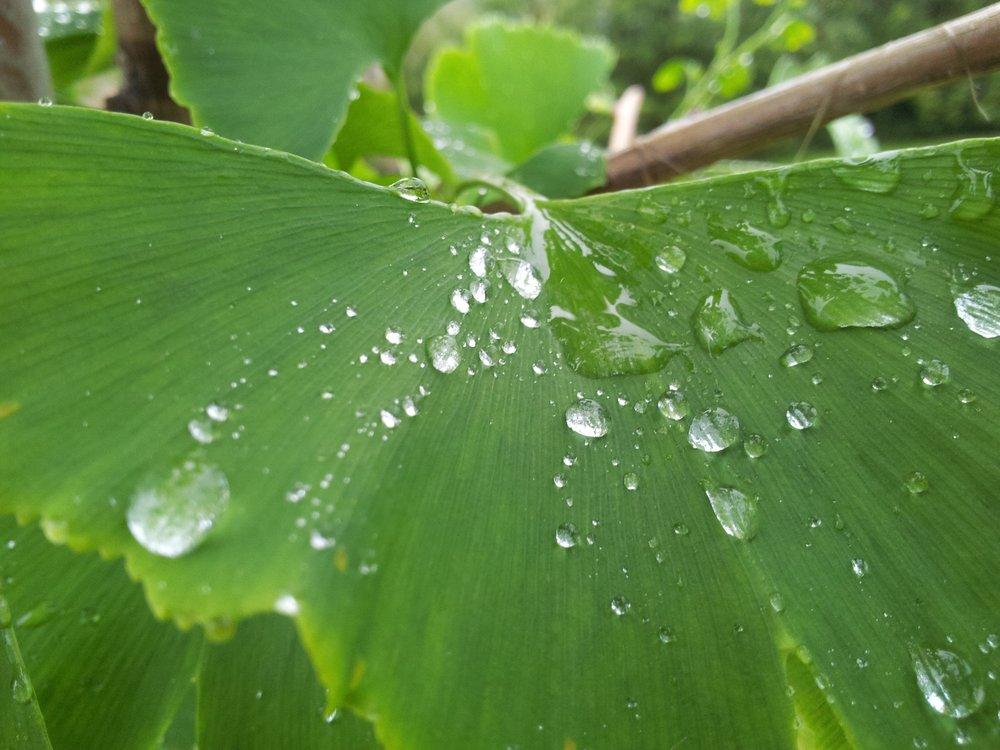 Ginkgo Leaf With Rain Drops.jpg