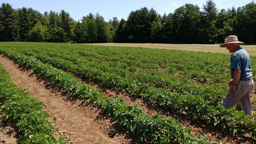 Potato field 2.jpg