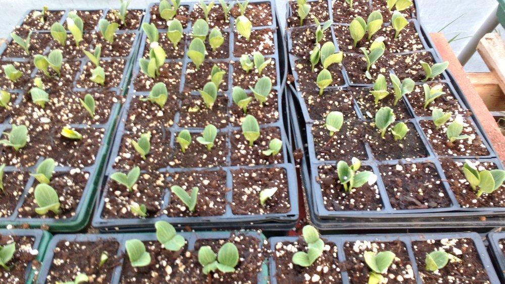 Greenhouse seedlings 1.jpg