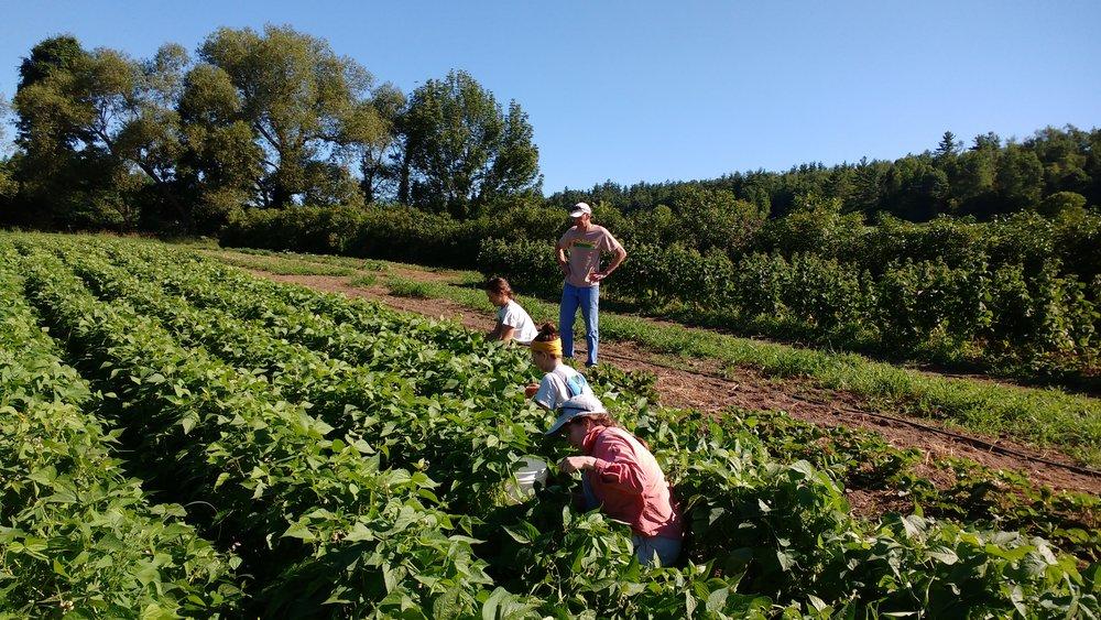 Bean harvest 1.jpg