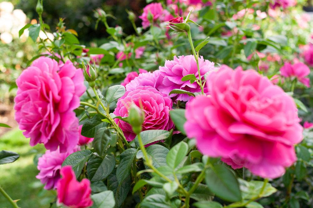 portland-rose-garden.jpg