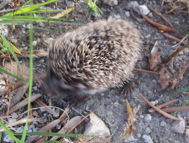 Hedgehog2.jpg