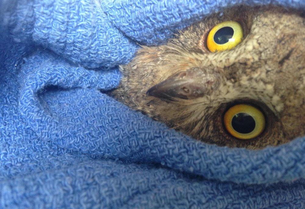 Owl being gently held while being banded at the Hôpital Faune Sauvage.