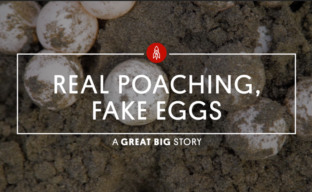 Taking on Turtle Egg Poaching With Hollywood Decoys - In many parts of the world, sea turtle eggs are a prized delicacy, but illegal poaching and a hungry black market trade have taken a toll on global turtle populations.