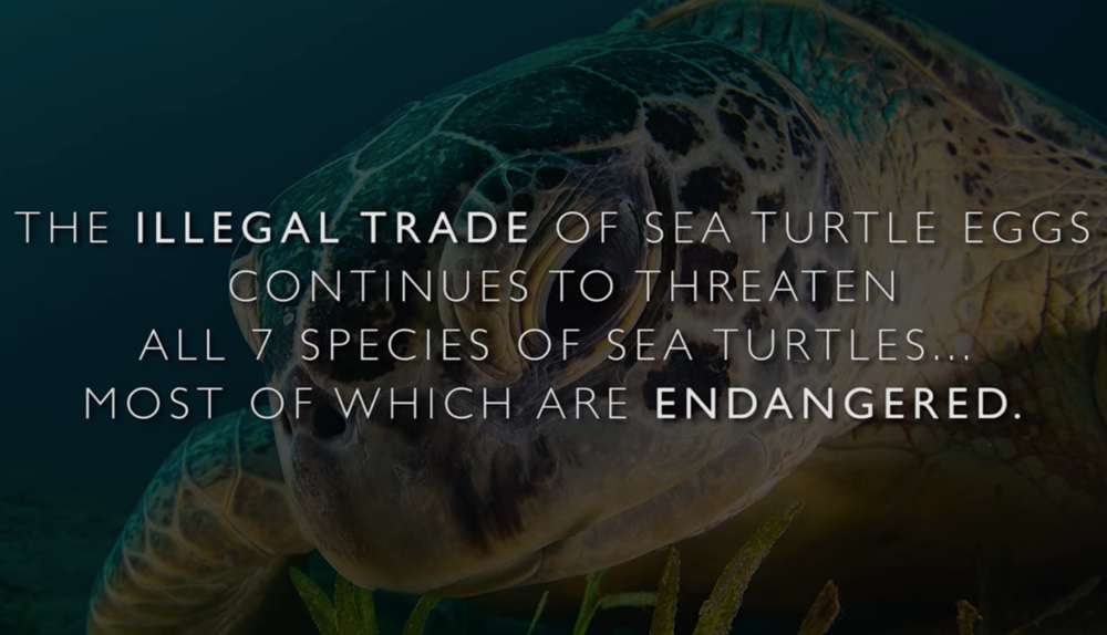 Paso Pacifico is changing wildlife surveillance - The illegal trade in sea turtle eggs is threatening the survival of all seven species of the world's sea turtles. However, because the transit routes that poachers use to move their illegal cargo are not known, it is difficult to intercept traffickers and better protect the sea turtles.