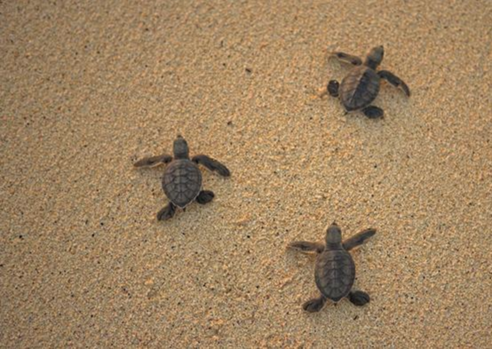 Cracking the bad eggs of the turtle trade - An ingenious project in Nicaragua has hatched a plan to thwart the illegal trade in sea turtle eggs by combining state-of-the-art printing with cell phone technology. Could it work?