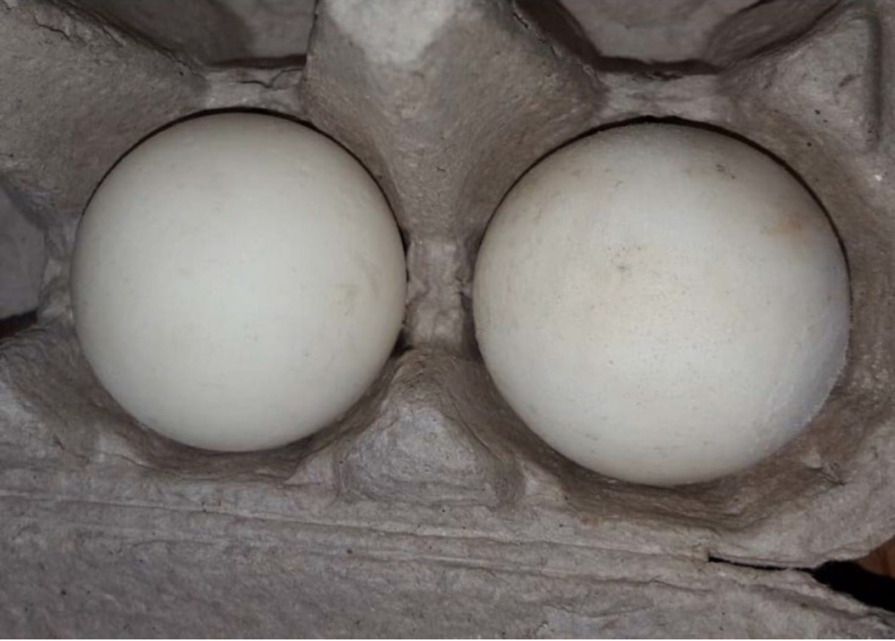 These fake turtle eggs could crack a black market in animal poaching - Smooth to the touch and perfectly round, these ping pong ball-size eggs could easily pass for any of the millions laid and buried every year by endangered sea turtles on the beaches along the North and Central American coasts.