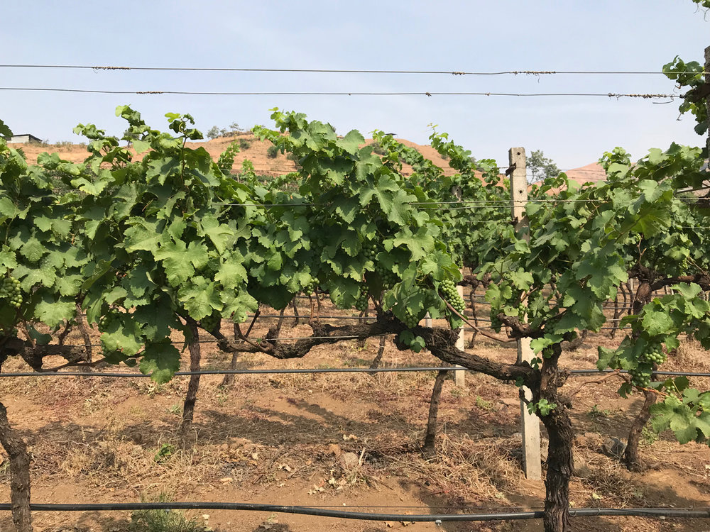 Tempranillo grapes growing at the Grover Zampa estate.