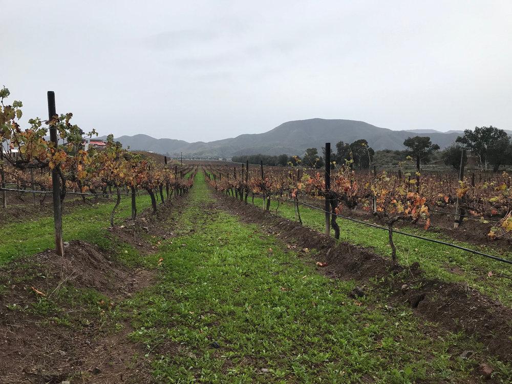 The vineyards at Bodegas de Santo Tomás.