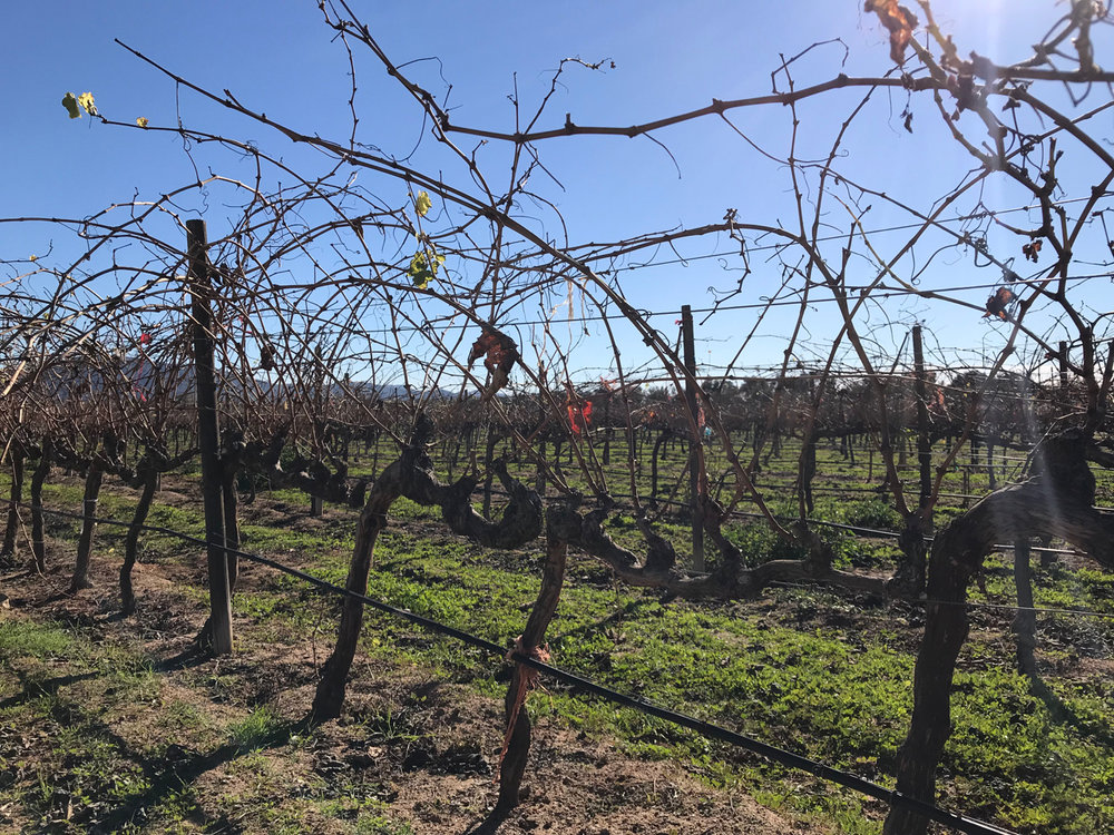 Wild winter vines waiting for pruning.