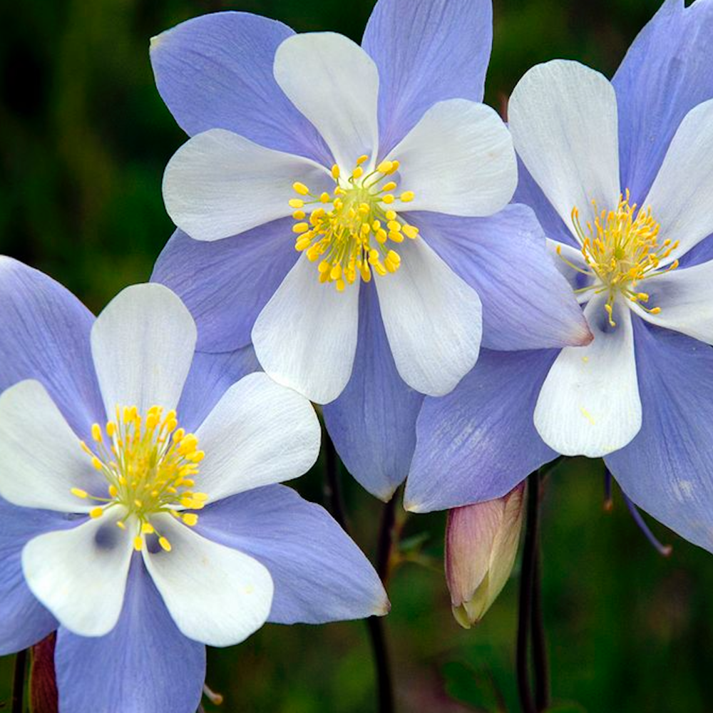 colorado_columbine