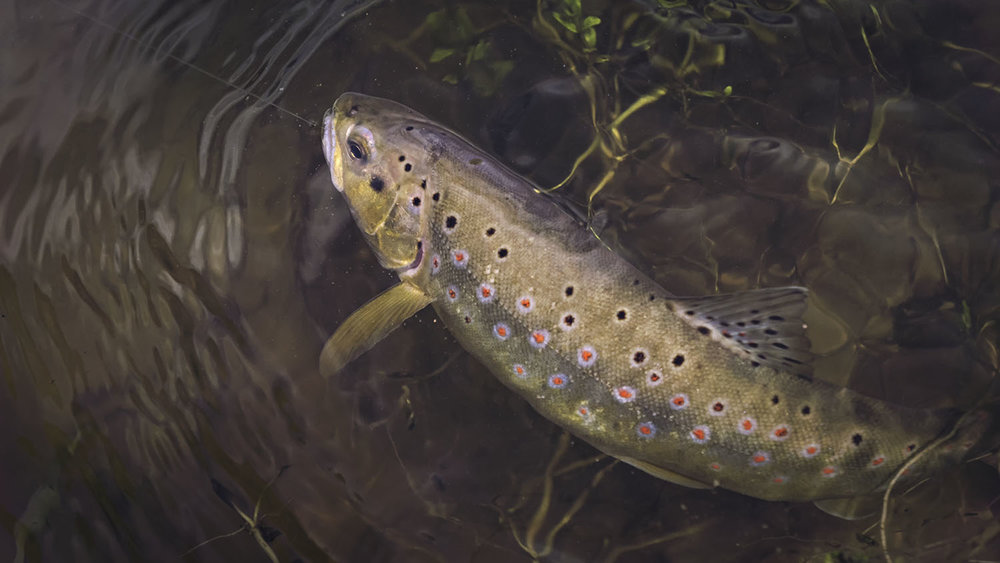 Beautiful brown trout caught by fly fishing.