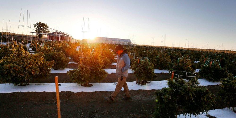Sean Babson walks between rows of crop at Los Suenos Farms, America's largest legal open air marijuana farm, in Pueblo County, Colorado. Brennan Linsley/AP