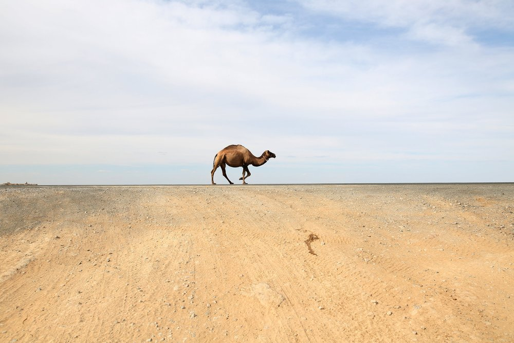 A camel on a highway