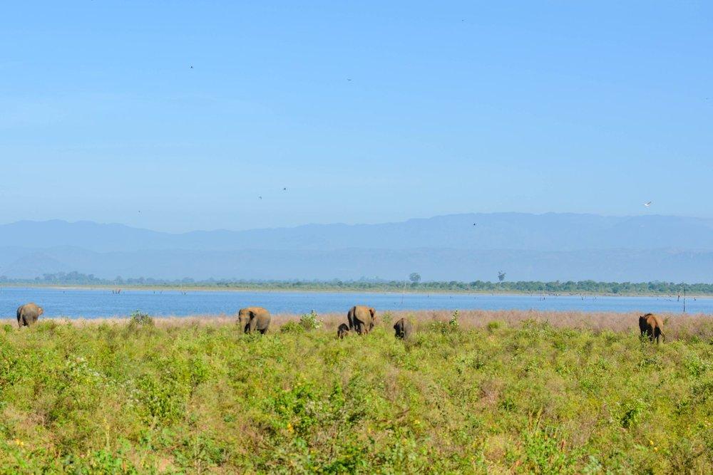 Elephants at Udawelawe