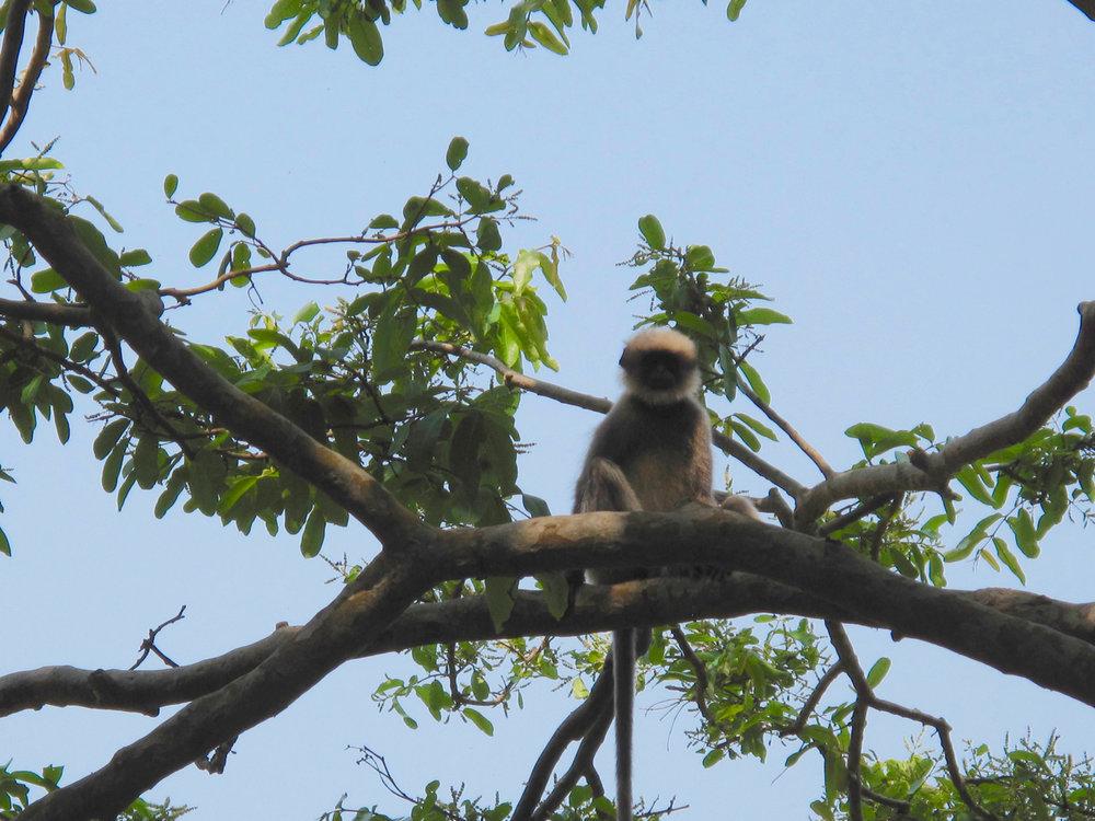 Yoga Explorers yoga retreat in South Goa - monkeys