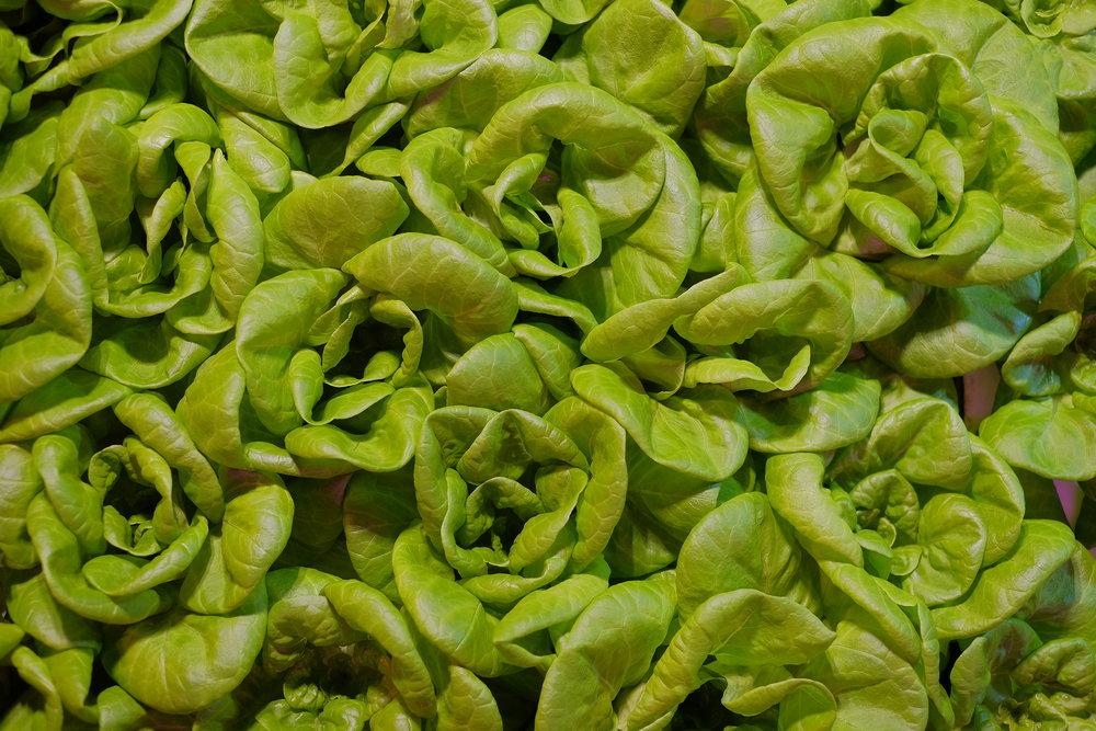 hydroponic butterhead lettuce