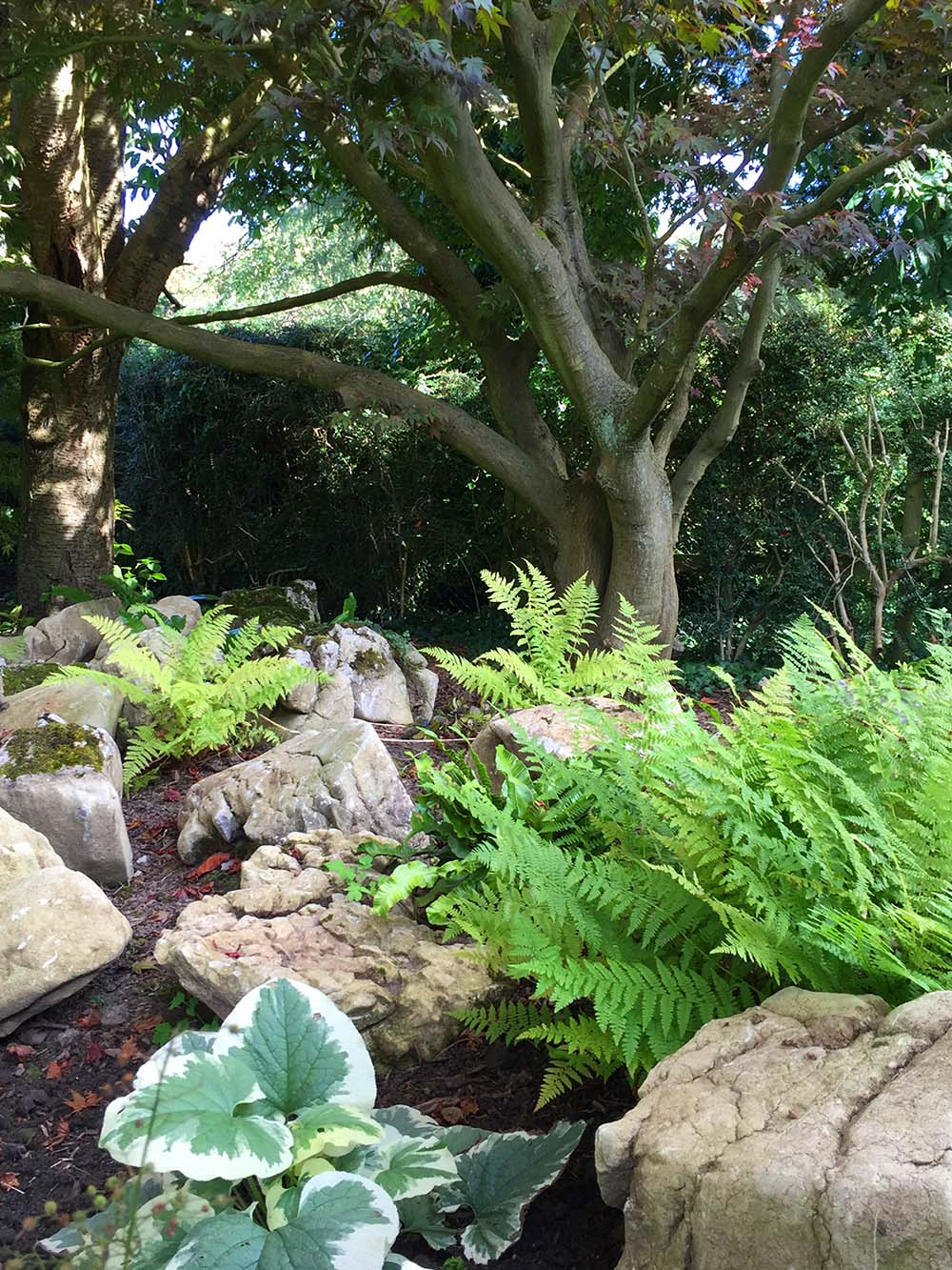 Fernery below the Japanese maple tree. Repositioned limestone clints from the rockery with new planting for dry shade: Ajuga purpurea; Brunnera Jack Frost; Lamium Beacon's Silver and Ferns in variety.