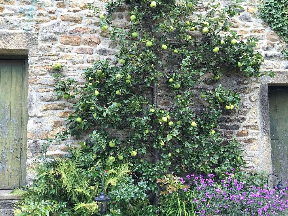 The lovely old barn wall in the back garden provides shelter and warmth to the plants.