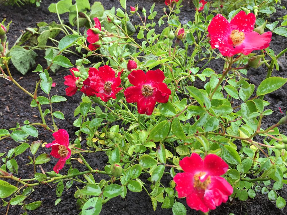 Rosa Suffolk  - a County series, hardy landscape rose selected for its rosy red colour and long flowering period.