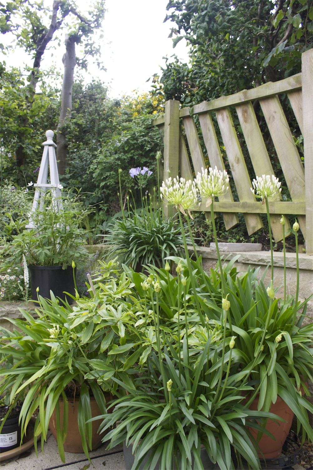Client's potted white Agapanthus enjoy the sunny and sheltered south facing front garden.