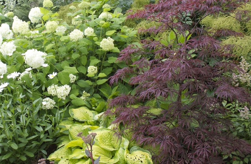 Acer   'Bloodgood' ,  Hydrangea   'Limelight'  and Hostas enjoy the dappled shade.