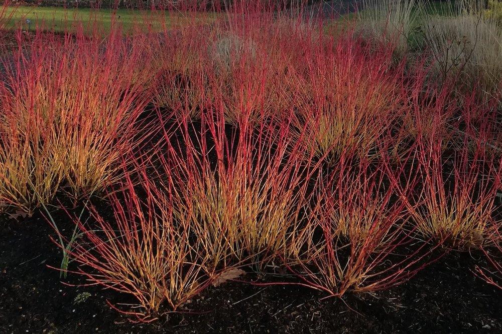 Photo 2. Cornus 'Mid-Winter Fire'