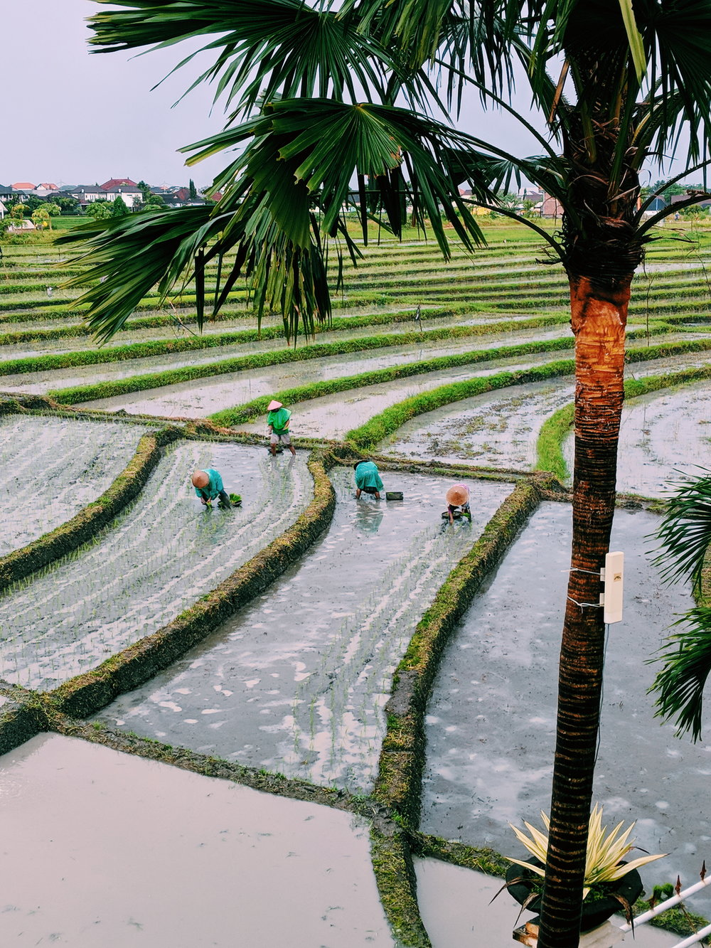 Bona Kubu Rice Terrace - This rice terrace is located right beside the guest house I stayed in the month of January. I tried to help them but no dice.