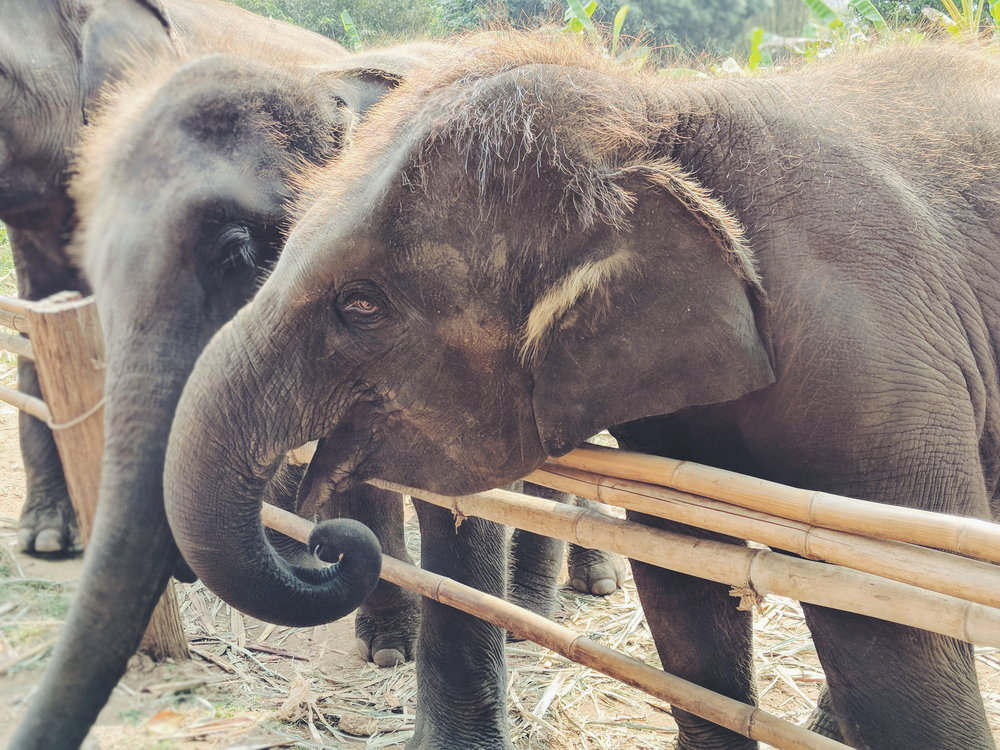 Elephant Rescue Park, Chaing Mai, Thailand