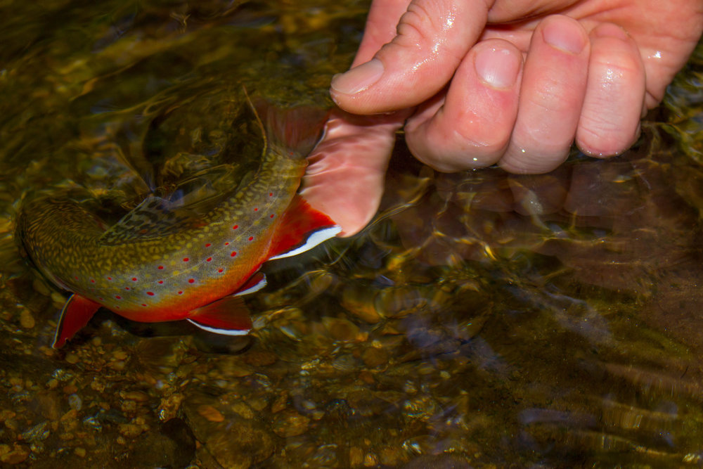 brooktrout_release.jpg