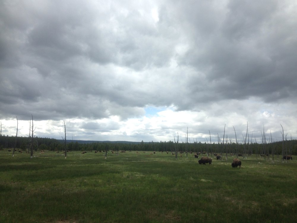 Buffalo in Wyoming