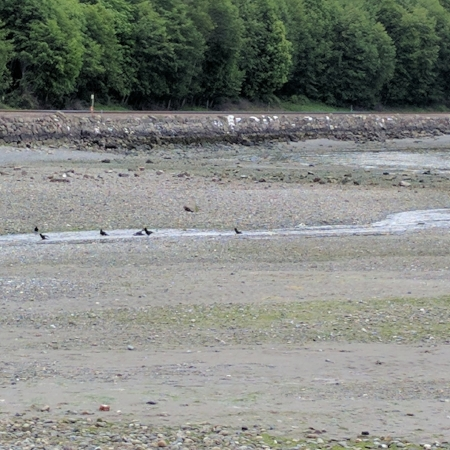 Corvids were splashing and playing with each other in the tidal stream.