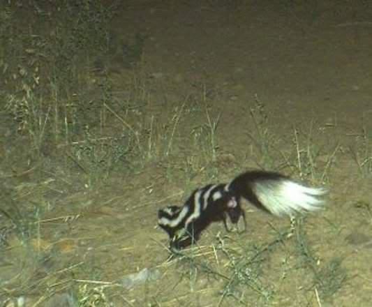 Western spotted skunk.