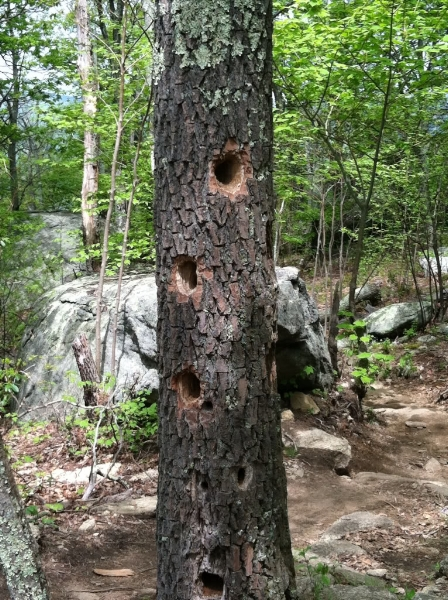Woodpeckers have been busy along the Old Rag summit trail.