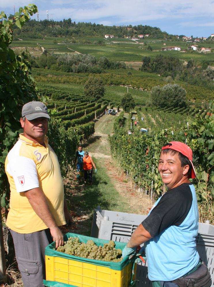 Harvest workers bringing the the chardonnay near La Morra.