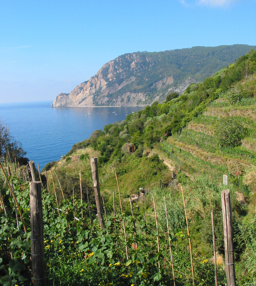 Some of the precipitous vineyards in western Liguria.