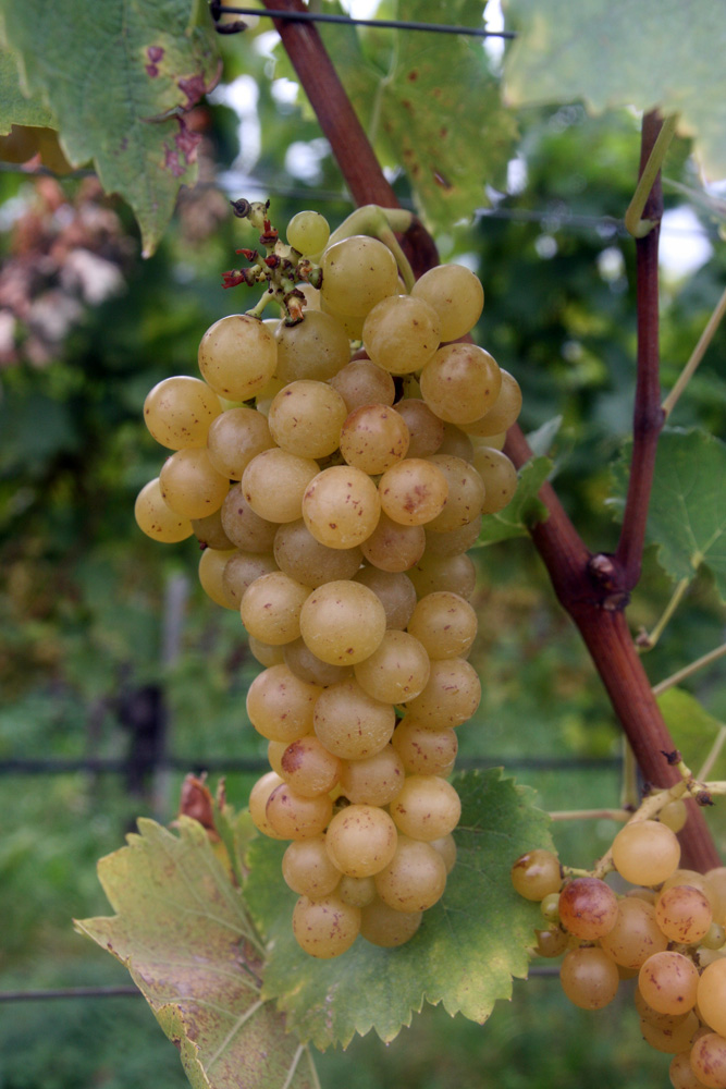 Moscato, one of the rare varieties that's equally good as a table grape and a wine grape.