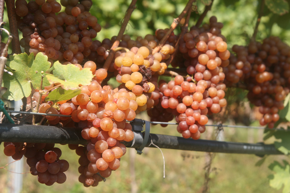 As its name implies ( grigio  means grey), the grapes can be grey-blue, but also green, golden yellow, or pinkish gray—sometimes in the same cluster.