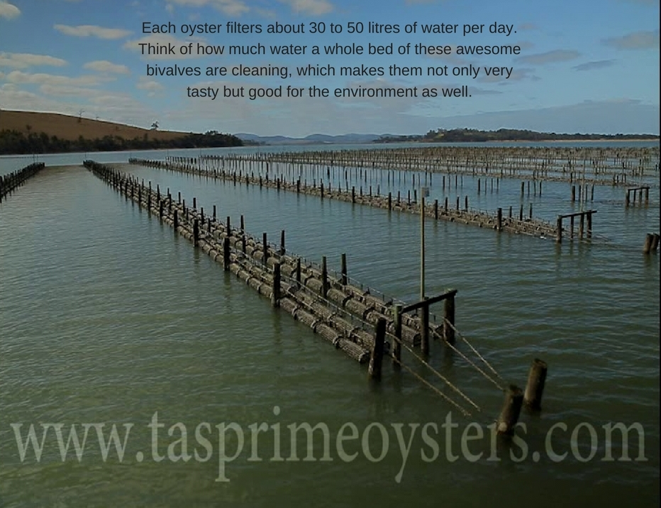 Each oyster filters about 30 to 50 gallons of water per day..jpg
