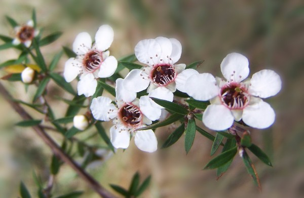 Native NZ Plants: Manuka (Leptospermum scoparium)