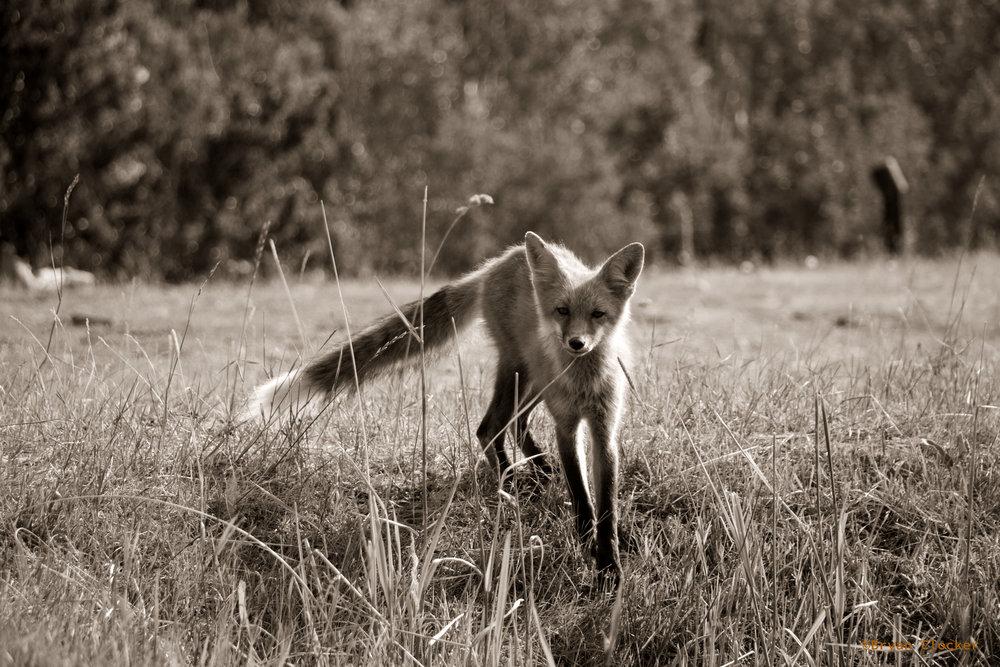 Fox_duo_watermark.jpg