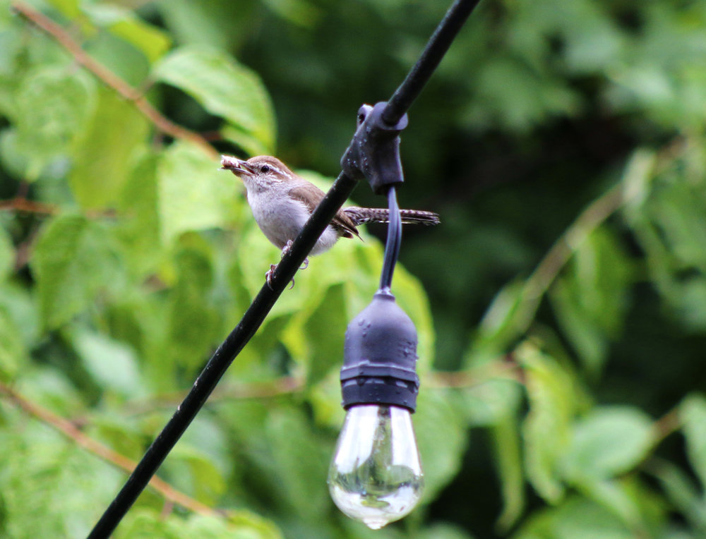 "P.S. we have a wren family that moved into our backyard! Here is a ""parent"" wren bringing food back for the little ones : ]"