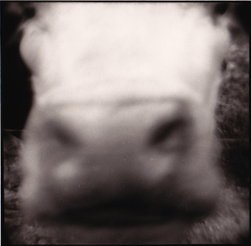 Cow's Face, McArthur, Ohio, 1975